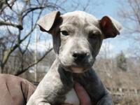 Guinness is an 11 week old Pit mix.  Adoption fee is