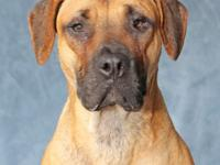 Info: Shar Pei mix - Black and Tan; Male; 2 years; 60