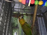 Gummy Bear is an adult Hybrid Conure, She is a little