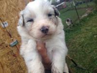 Blue Merle male # 6 was born 12/14/2014 she is AKC