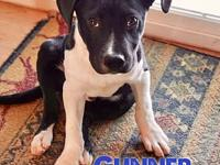 Gunner's story Gunner - 10-12 Week Male Lab/Pit mix -