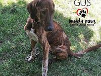 Gus's story Gus, the young brindle plotthound mix is