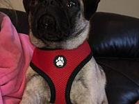 Gus's story Say hello to Gus! Gus is a 6 month old Pug