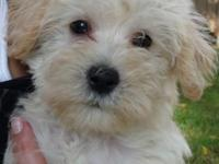 Cute male Schnoodle-Gus. Puppy comes with his first and
