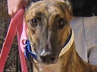 Guy's story Guy is a retired racing greyhound (Racing