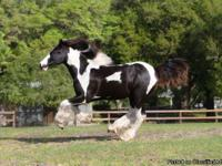 WR Brigsby is a fabulous Gypsy Vanner gelding. His