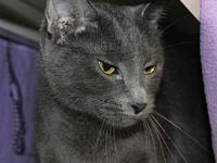 Haani's story Haani is a blue domestic shorthair who is