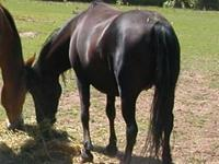 Rose Curly is a 14 year old unregistered black mare.