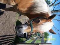 Beautiful Haflinger gelding, 9 years old, broke to ride