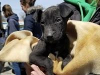 Meet Hager, a little 8-week old male Lab mix puppy who