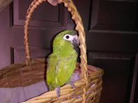 Tame male Hahn's mini macaw, surgically sexed, ready