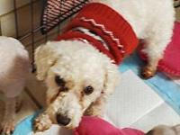 My story Meet Hail Mary and adult poodle mixed breed.