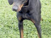 Hailey is a gorgeous 1 year old Black and Tan girl