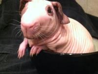 2 MALE HAIRLESS (BALDWIN) GUINEA PIGS