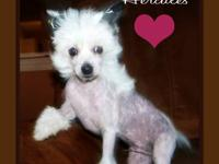 4 month old male hairless Chinese crested pup. Will