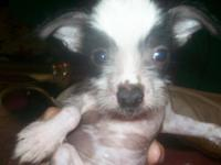 very handsome little hairless male AKC registered