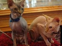 Two very hairless Sphynx Cats. They are very sweet,
