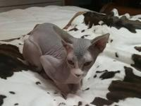 Beautiful male neutered four month old hairless Sphynx