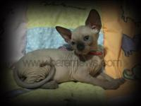 Healthy and happy Sphynx kittens available for