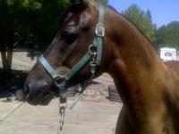 Register Half Arabian /Quarter horse Reg Johnmelo-