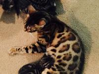 We have 2 male half bengal kittens left. They will come