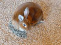We have the sweetest half-dwarf bunny, red, about 3