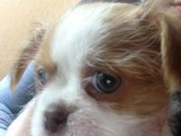 Out of three male puppies that are half Shih Tzu and