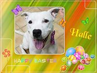 Halle's story Halle.....Am a female, Pitbull mix,