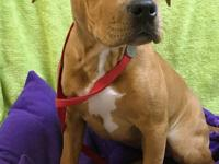 Halle Berry is a red and white female Terrier, Pit