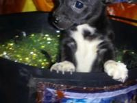 Breed-Chihuahua Shots & wormed Small 8weeks Male