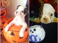 Breed-Boston Terrier BOTH MALES! Age-8weeks CKC