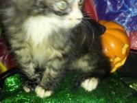 Breed - Maine Coon 8weeks Wormed If interested please