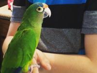 We currently have a beautiful tame, Halph Moon Conure