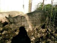 Purebred Hamp sow. Nice looking. $200.00 Call  leave