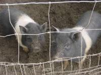 I have 3 uncut 2 Month Old Hampshire Mixed Piglets for