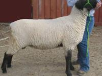 My daughter is selling her yearling 4-H breeding ram.