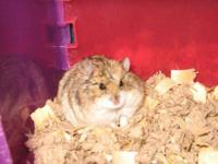 Hamster - Chipper And Alvin - Small - Young - Female