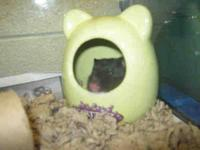 Hamster - Laurie - Small - Adult - Female - Small &