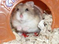 Hamster - Ling - Small - Adult - Female - Small &