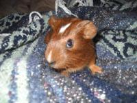 Hamster - Whitney - Small - Baby - Female - Small &
