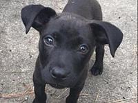 Han Solo's story Han Solo is a male lab mix puppy and