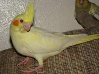 I have 2 hand fed and raised cockatiels, under a year
