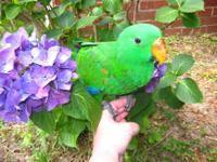 I have a very SWEET male Eclectus that is ready to go