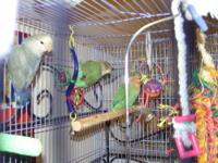 f you are looking for a lovebird to have as a buddy,