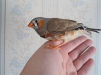 I have 1 male English Zebra Finch available, he is
