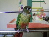 Green Cheek Conure Babies, hand fed and very friendly.