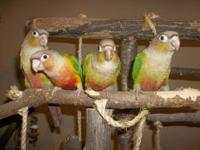 I have 2 pairs of Red eyed Peach faced Lutino lovebirds