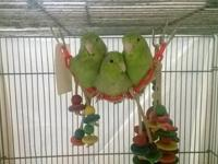 I have 3 Sun Conures that just weaned (Nov 2013). They