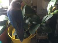 i have for sale hand fed love bird tamed, about 2 1/2