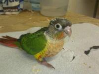 Hand-Fed Yellow-Sided Green-Cheeked Conure babies. 5